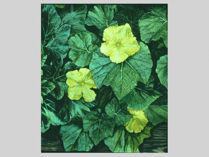 Squash flowers, Oil on paper, 1984, 2011, PPCD, LLC