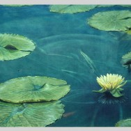 Waterlilly, Oil on canvas, 1987, 2011, PPCD, LLC